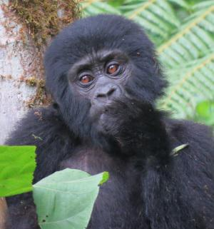Baby Gorilla at Broadbill Forest Camp